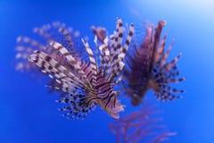 Gevaarlijke giftige vissen die blauwe achtergrond zwemmen De rode mijlen die van lionfishpterois in oceaan zwemmen Zachte nadruk, Stock Afbeelding
