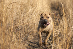 Gevaarlijke Honden Royalty-vrije Stock Fotografie
