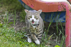 Gevaarlijke Kat Stock Foto's