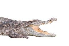 Gevaarlijke krokodil die op witte achtergrond wordt geïsoleerdo Royalty-vrije Stock Foto