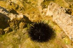 Gevaarlijke zeeëgels in de wildernis Stock Foto