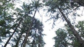 Gevallen berk in het bos stock videobeelden