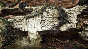 Gevallen berk in het bos stock video