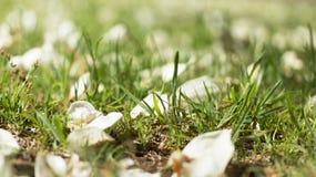 Gevallen Bloemblaadjes en Gras Royalty-vrije Stock Foto's