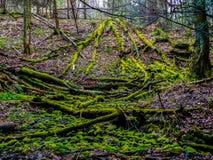 Gevallen Bomen in Forst Stock Afbeeldingen