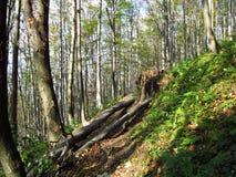 Gevallen bomen in het hout Stock Afbeelding