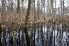 Gevallen Bomen in Moeras Stock Foto