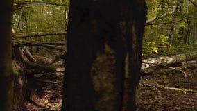 Gevallen bomen na onweer in een bos stock footage