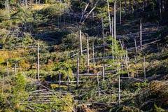 Gevallen Bomen in Naaldforest after strong hurricane wind stock afbeelding
