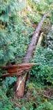 Gevallen boom in Canadees Rocky Mountains Forest - royalty-vrije stock afbeeldingen