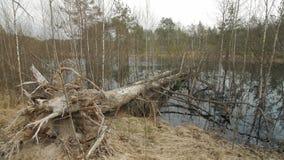 Gevallen boom in een moeras stock videobeelden