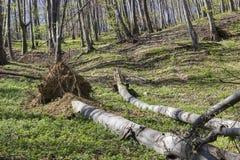 Gevallen boom in het bos Stock Fotografie
