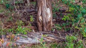 Gevallen boom met verdraaide scheerbeurttekens in een spiraalvormig patroon door zijn lengte stock afbeelding