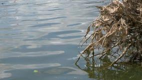 Gevallen boom met wortels in het meer stock footage