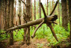 Gevallen Boom Mooie pijnboom Een mirakel van aard Stock Afbeeldingen