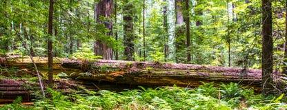 Gevallen Californische sequoia royalty-vrije stock afbeeldingen