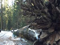 Gevallen Californische sequoia Stock Fotografie