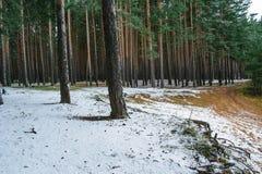 Gevallen de eerste sneeuw in een pijnboombos stock foto's