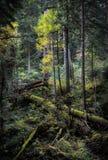 Gevallen die bomen met mos in het sparbos worden behandeld Royalty-vrije Stock Foto's