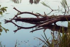 Gevallen dode boom in het water Stock Afbeeldingen