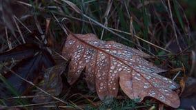 Gevallen eiken blad met dauwclose-up Stock Foto's