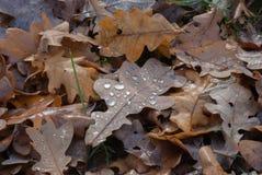 Gevallen Eiken Bladeren stock fotografie