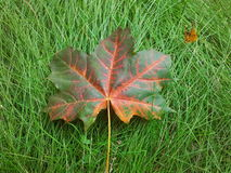 Gevallen esdoornblad op een groen gras Stock Foto