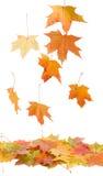 Gevallen esdoornbladeren Stock Foto