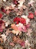 Gevallen esdoornbladeren in de herfst stock foto's