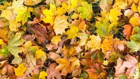 Gevallen gele bladeren, de herfstachtergrond flora Royalty-vrije Stock Afbeelding