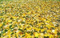 Gevallen gele esdoornbladeren Royalty-vrije Stock Foto's
