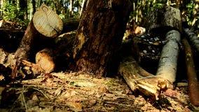 Gevallen houten De vernietiging van bossen Doen ineenstorten bomen in bos 85 stock footage