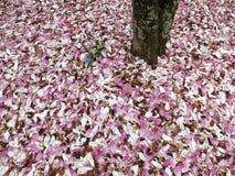 Gevallen Magnoliabloesems in April Royalty-vrije Stock Fotografie