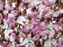 Gevallen Magnoliabloesems in April in de Lente Royalty-vrije Stock Afbeeldingen