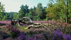 Gevallen multi-gestamde naakte boom op een mooi bloeiend purper heidegebied Royalty-vrije Stock Afbeelding