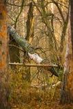 Gevallen oude boom in het de herfstbos royalty-vrije stock afbeeldingen