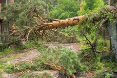 Gevallen pijnboom na een tornado stock fotografie