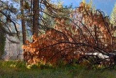 Gevallen pijnboomboom in bos stock afbeeldingen