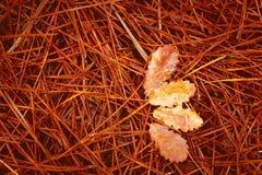 Gevallen pijnboomnaalden en gestorven bladeren op grond stock fotografie