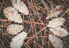 Gevallen pijnboomnaalden en gestorven bladeren op grond stock afbeelding