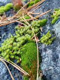 Gevallen pijnboomnaalden op het mos dat op een steen groeide royalty-vrije stock foto's