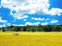 Gevallen rijst op het gebied royalty-vrije stock foto's