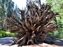 Gevallen sequoiaboom in het Nationale Park van Yosemite, Californië Stock Afbeelding