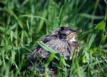 Gevallen van het nest. Royalty-vrije Stock Foto