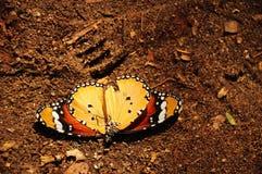 Gevallen vlinder Stock Afbeelding