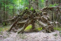 Gevallen wortel in het bos Stock Afbeelding