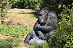 Gevangen Chimpansee Stock Fotografie