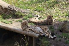 Gevangen Jachtluipaarden Royalty-vrije Stock Afbeeldingen