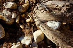 Gevangen rots in cederwortels royalty-vrije stock afbeeldingen