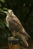 Gevangen vogel Royalty-vrije Stock Foto